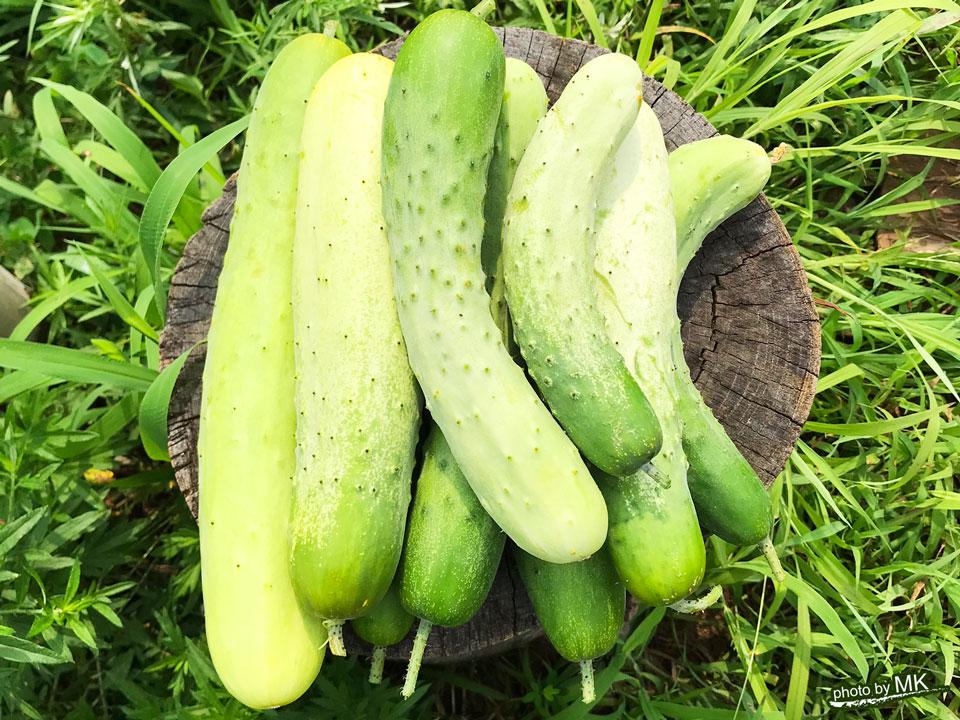 EdiblePark茅ヶ崎で収穫したキュウリ