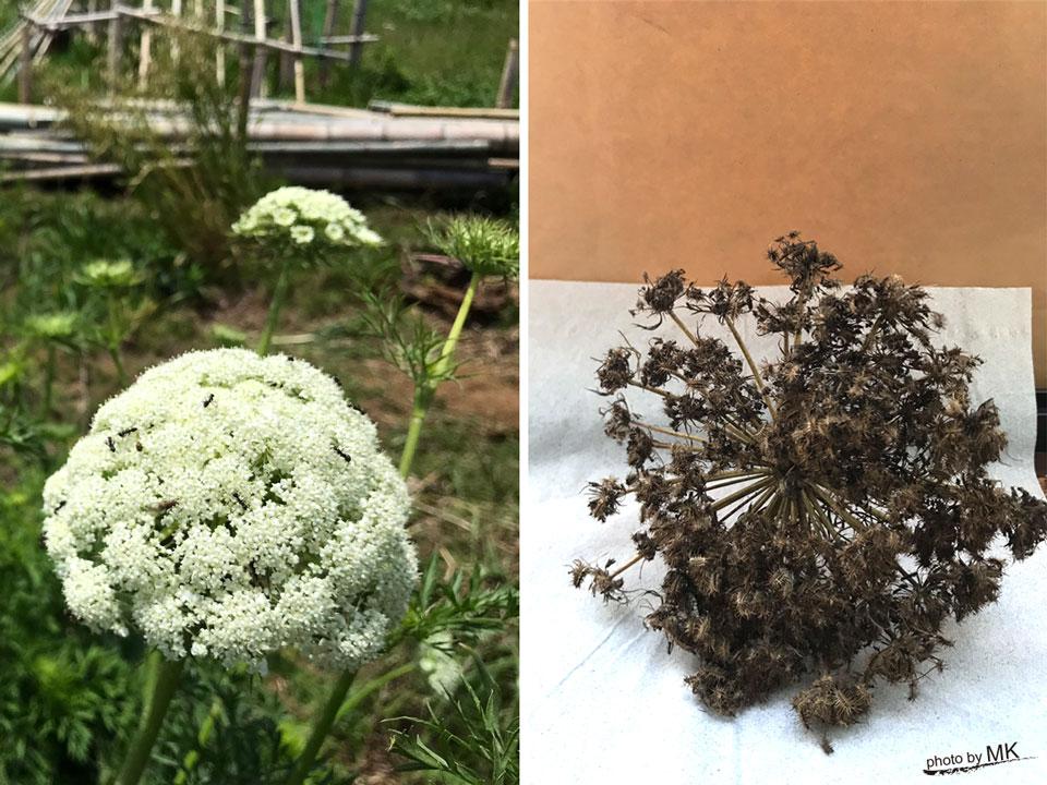 ニンジンの花と種子