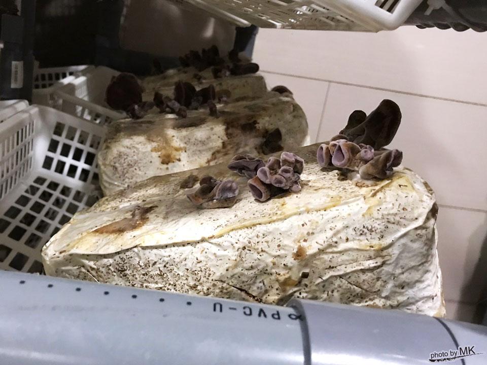 菌床からキクラゲが生えている様子