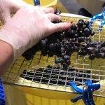 自分の手でブドウをワインにしよう!「横濱ワイナリー」でワインづくりに参加してみた