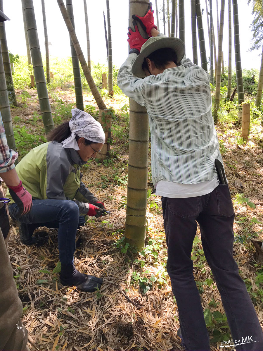 竹を切り出しているところ